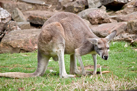 this is a side view of a male red kangaroo