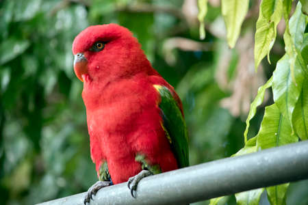 this is a close up of a the chattering lory 스톡 콘텐츠