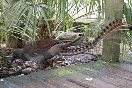 this is a side view of a lyre bird the bird has a beautiful long tail. It is scrapping food off the ground