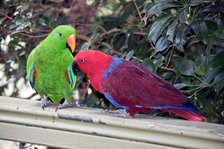 the two eclectus parrots are courting the male is green and the female is red