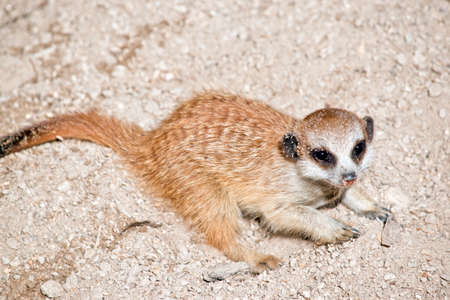 this is a close up of a young meerkat