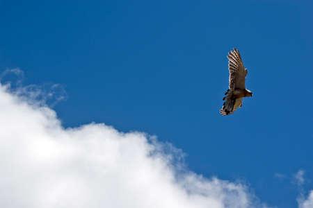 the Australian nankeen kestrel is flying high in the sky