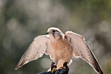 the Australian nankeen kestrel has its wing spread while perched on a glove
