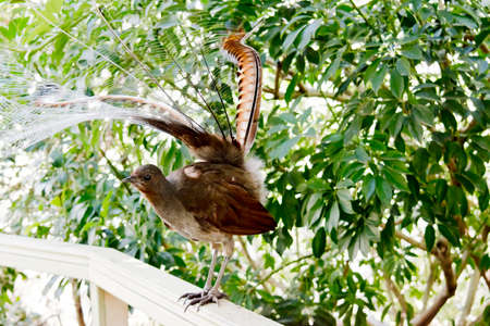the lyre bird has its tail up to make him look larger to scare away preditors Foto de archivo