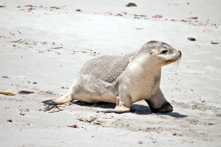 the sea lion is walking along the beach at Seal Bay on Kangaroo Island Stockfoto
