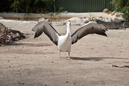 the injured pelican has been saved by a wildlife park