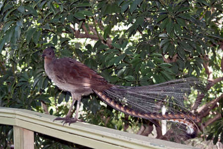 the lyre bird is sitting on a fence displaying his beautiful tail