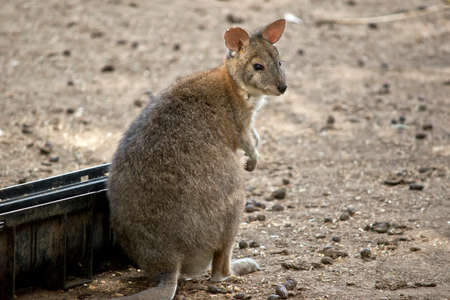 the red necked pademelon is going to eat out of a trough Stock Photo