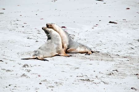 the two sea-lions are fighting on the beach at Seal Bay