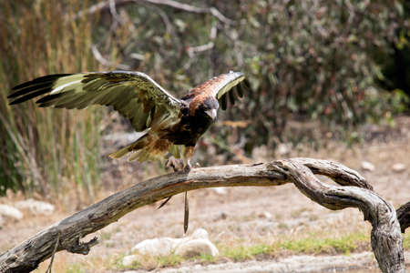 the black breasted buzzard is balancing on a log Stock Photo