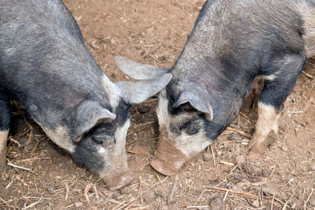 the two young piglets are searching for food Stock Photo