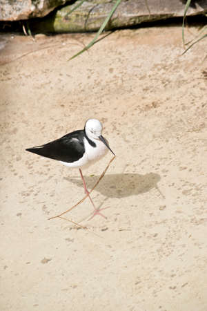 the black necked stilt has picked up a twig to build a nest