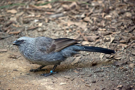 this is a side view of a apostile bird also known as the grey jumper, lousy jack or cwa bird