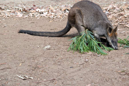 the swamp wallaby is eating some gum leaves