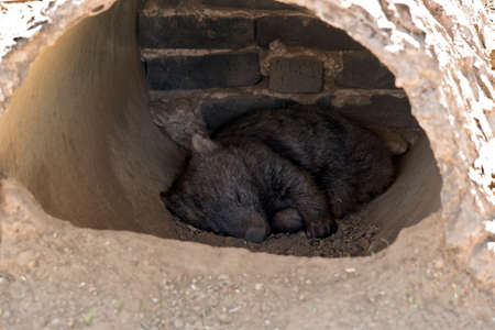 the young wombat is resting in a man made burrow Stock Photo