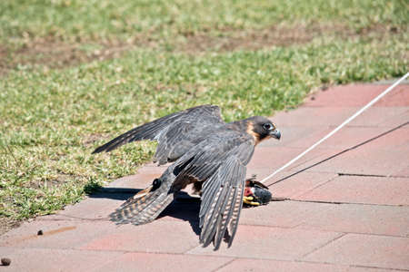 the Australian Hobby Falcon is a small raptor who can be train to catch a lore