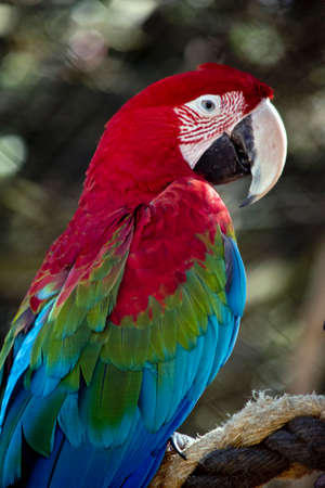 this is aside view of a red-and-green macaw or  green-winged macaw
