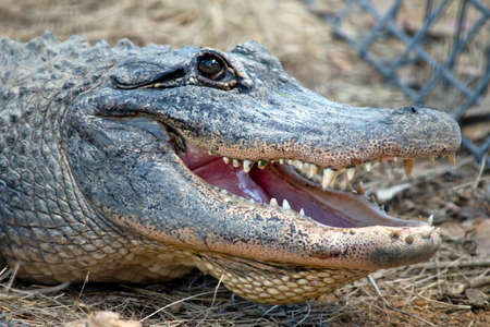 this is a close up of an alligator 免版税图像