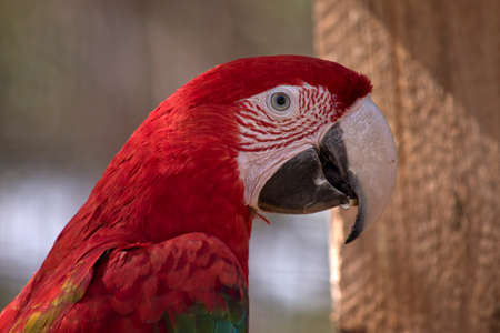 this is a close up of a red-and-green macaw or green-winged macaw