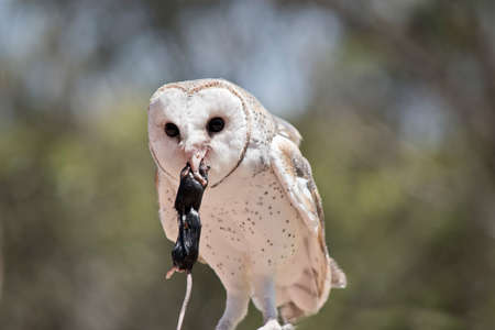 this is a close up of a lovely barn owl eating a rat Imagens