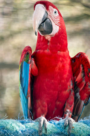 this is a close up of a red-and-green macaw or also known as green-winged macaw