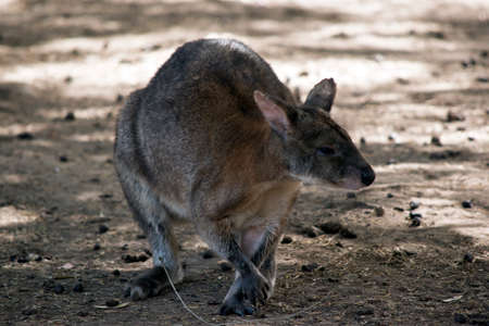 the red necked pademelon is searching for food