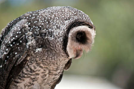 this is a side view of a masked owl in Australia 版權商用圖片