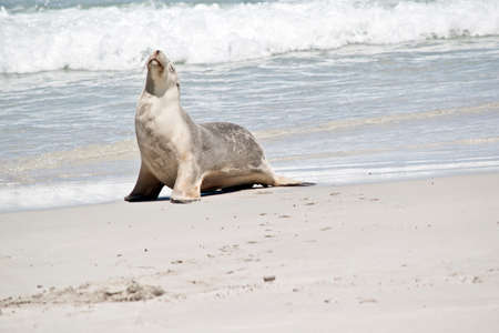 the sea lion has just come out of the water and is resting on the sand Stock Photo