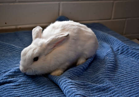 the white rabbit is on a blue towel