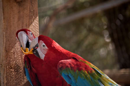 the two red-and-green macaws are sharing an orange Stok Fotoğraf