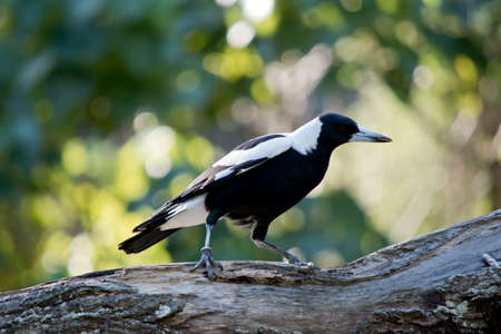 the magpie is resting on a tree branch Standard-Bild