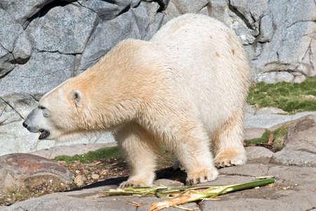 the polar bear is eating bamboo