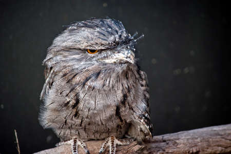 this is a close up of tawny frogmouth 写真素材