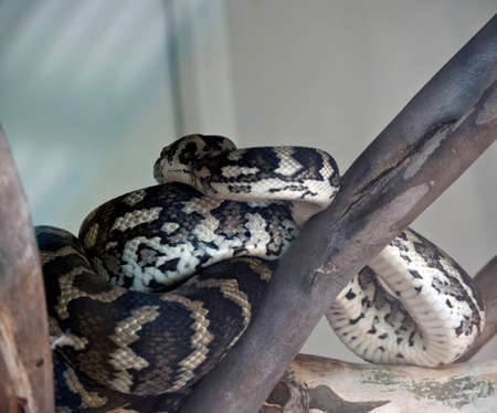the carpet python is curled up on top of a tree