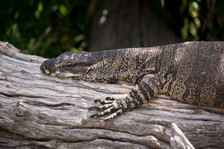 this is a close up of a lace lizard Фото со стока