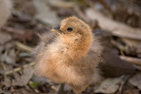 the young chick is walking over leaves Stock Photo - 118434606