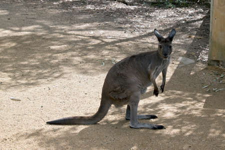 the  kangaroo-island kangaroo is resting in the park Standard-Bild