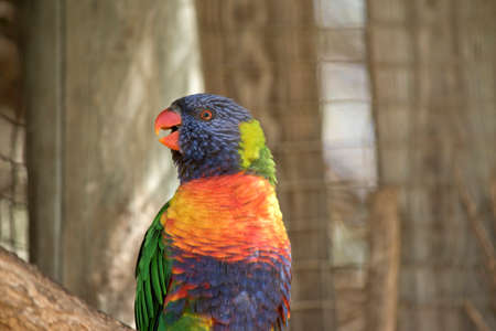 this is a close up of a rainbow lorikeet Stock Photo