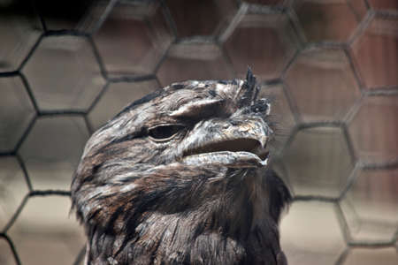 this is a close up of a tawny frogmouth with his beak open Stock Photo