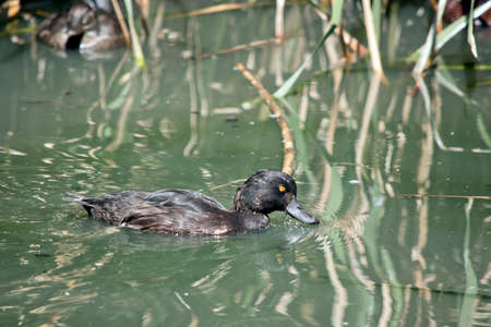 the  young white eyed duck has a yellow eye until mature