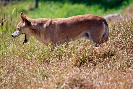 c'est une vue latérale d'un bâillement dingo doré