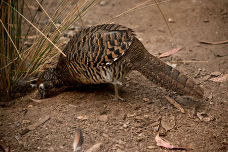 this is a side view of a pheasant eating Stockfoto