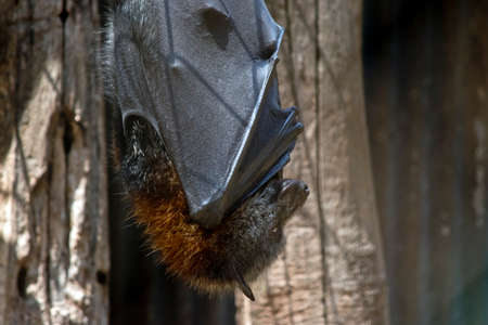 the fruit bat hangs upside down during the day Stock Photo
