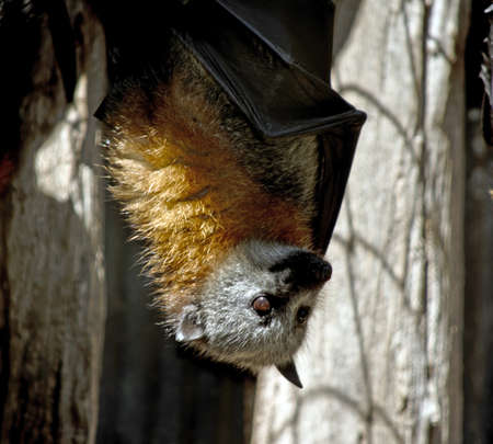 the fruit bat is hanging upside down Stock Photo
