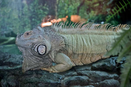 this is a side view of a a green iguana