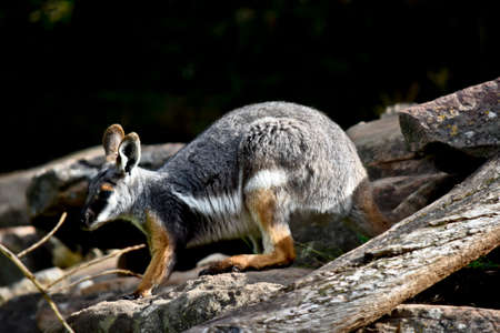 this is a side view of  a  yellow footed rock wallaby
