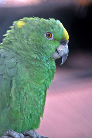 this is a side view of  a  Yellow-naped Amazon,