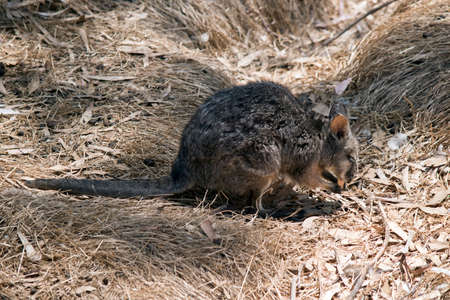 this is a side view of a small Tammar wallaby eating