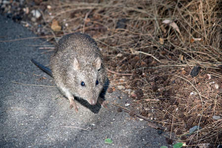 the long nosed potoroo is on the path looking for food