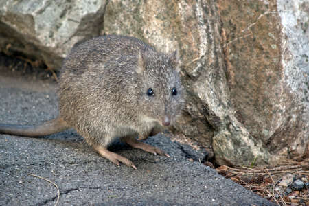 the long nosed potoroo is next to a rock Stockfoto